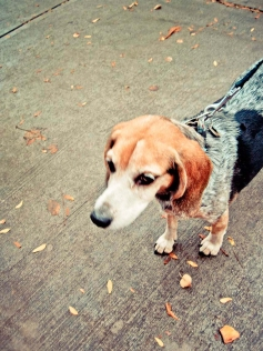 WEB_Beagle_fall